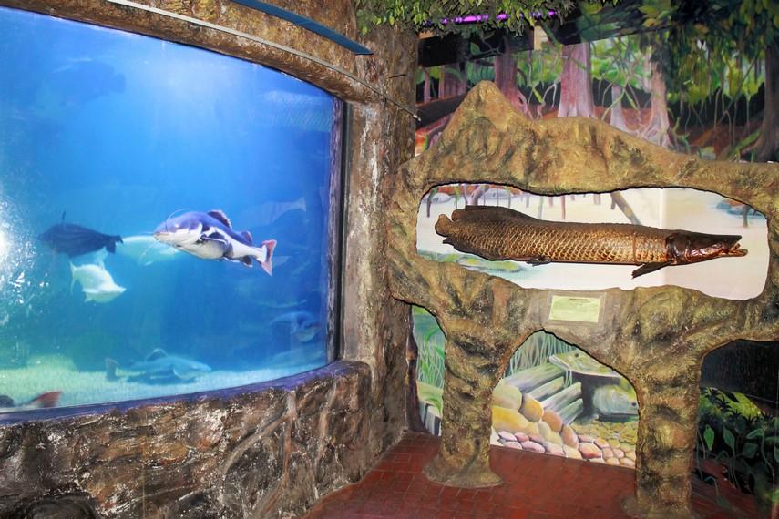 Aquarapaima merupakan akuarium yang menyimpan berbagai ikan hasil persilangan ikan air tawar dengan ikan air asin
