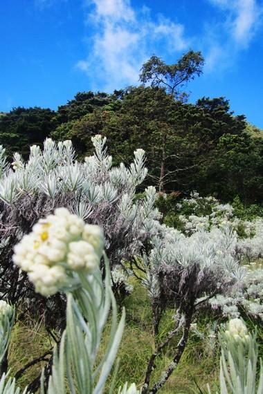 Bunga abadi edelweis merupakan tanaman yang tumbuh di ketinggian lebih dari 3.000 mdpl