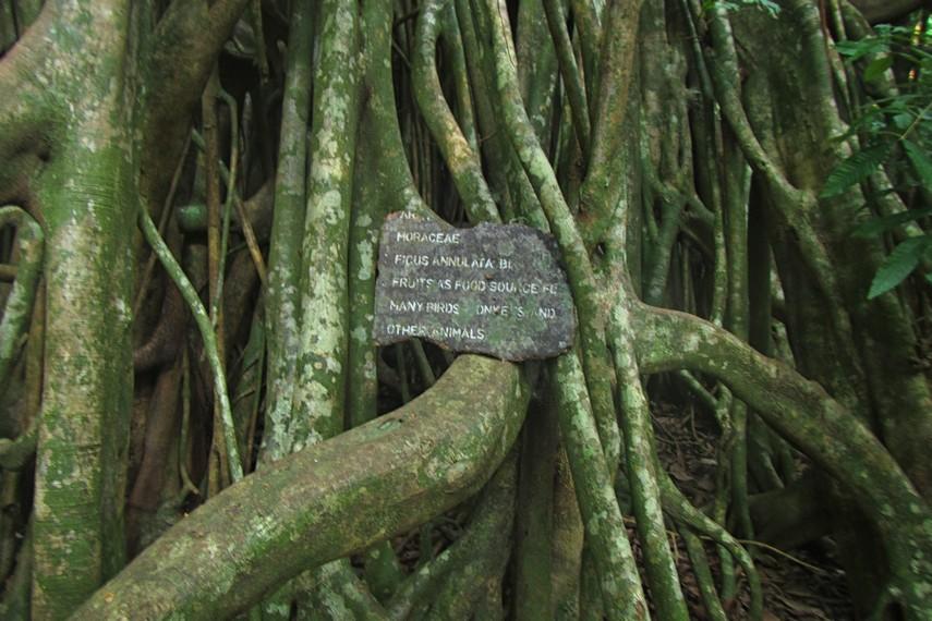 Salah satu jenis pohon yang terdapat di hutan primer yang dapat dilihat pengunjung menuju Karang Copong