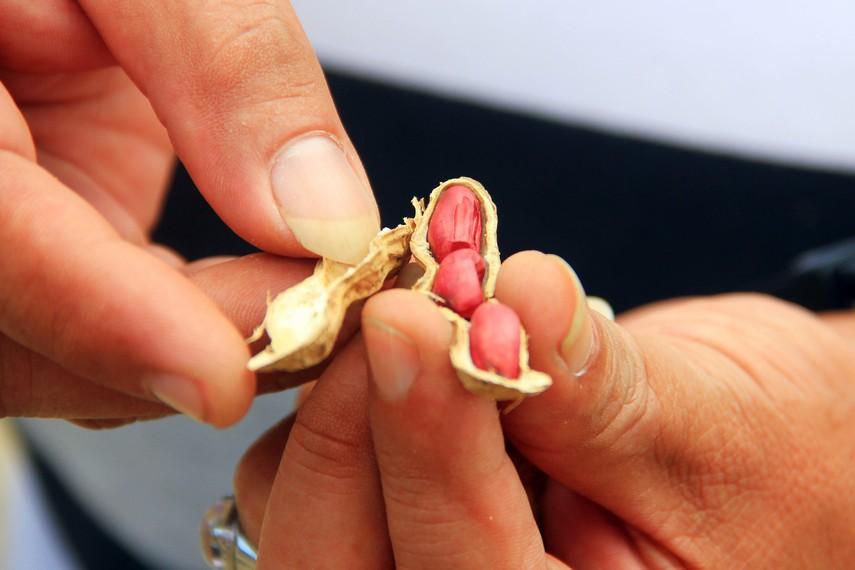 Kacang sangrai yang telah mengalami proses sangrai dan siap untuk dimakan