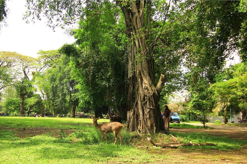 Sekelompok rusa yang sedang mencari makan juga menjadi sajian pemandangan saat berkunjung di Taman Balekambang
