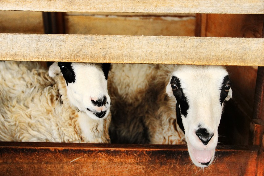 Tidak hanya pejantan, De Wisdom juga memelihara domba betina untuk melahirkan bibit-bibit unggul domba