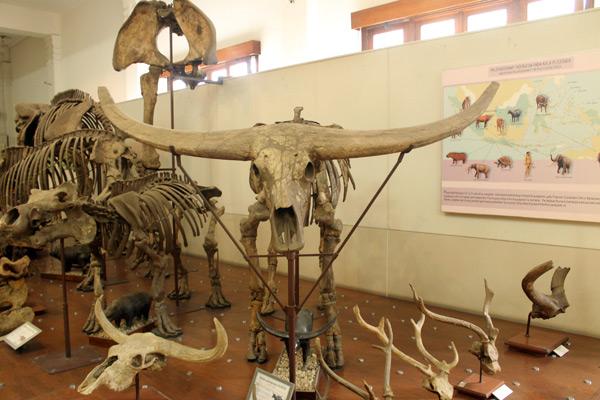 Beberapa jenis fosil hewan purbakala yang pernah hidup di Indonesia