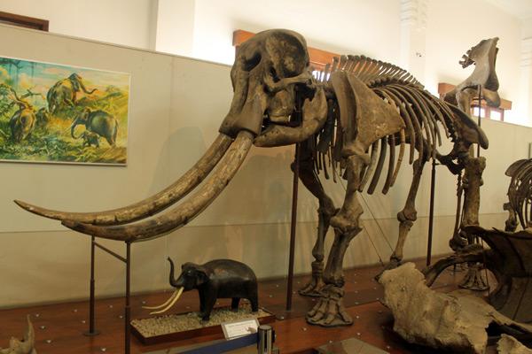 Fosil sejenis gajah purba yang pernah hidup di Indonesia