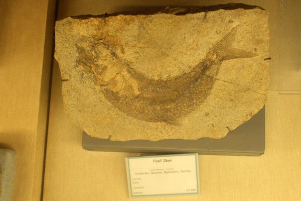 Fosil sejenis ikan purba yang ada di Museum Geologi