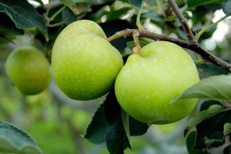 Apel lokal dan apel manalagi tumbuh subur di Agrowisata ini