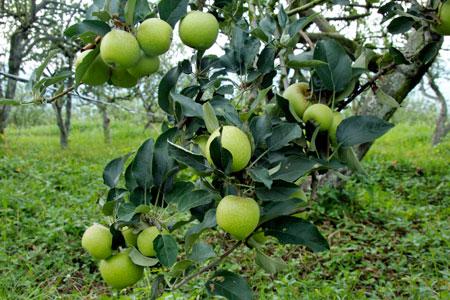 Buah apel yang sudah ranum siap dipetik pengujung