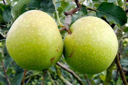 Di Agrowisata ini Apel tumbuh menjadi buah yang siap untuk dipetik