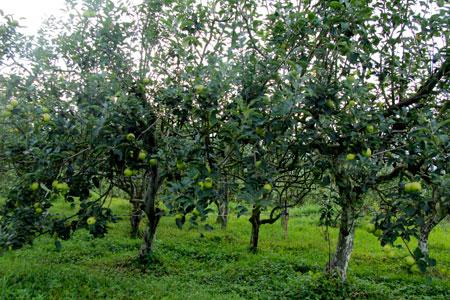 Para pengunjung boleh memetik apel langsung dari pohonnya