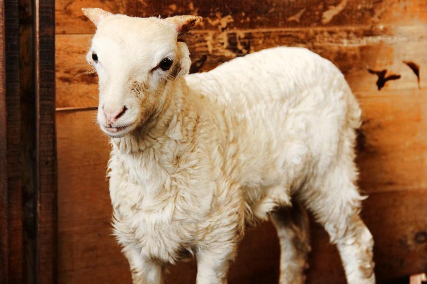 Domba yang masih bayi dengan fisik yang bagus akan menjadi bibit yang bagus untuk tradisi ketangkasan domba