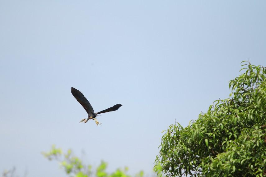 Selain kera, beberapa spesies burung juga bisa kita temui bebas terbang disekitar area rawa