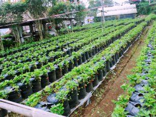 Wisata Petik Stroberi, Serasa Memiliki Kebun Sendiri