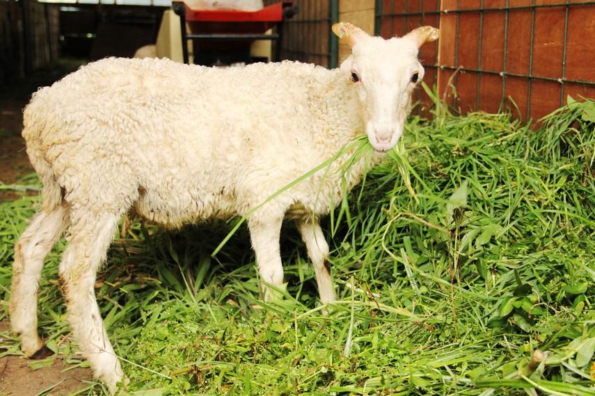 Pengunjung juga bisa menyaksikan domba-domba yang dibiarkan berkeliaran di sekitar kawasan ini