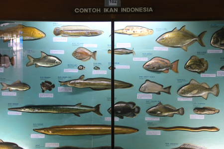 Ikan-ikan yang habitat alaminya ada di Indonesia. Dari 5.472 jenis ikan yang ada di dunia, 55 di antaranya ada di Museum Zoologi Bogor