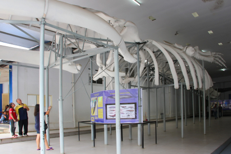Kerangka ikan paus purba menjadi pemandangan menarik jika berkunjung ke Museum Zoologi Bogor