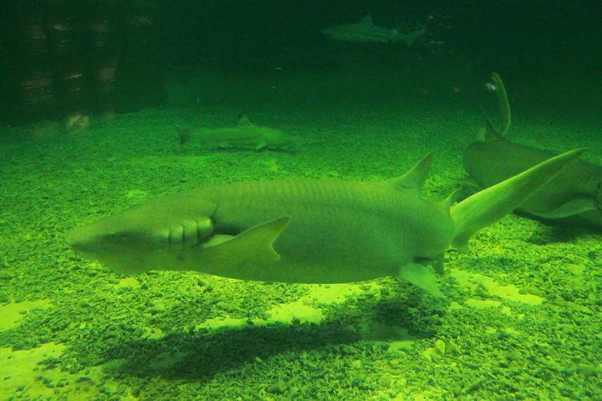 Kawanan hiu yang terdapat di SharkQuarium, menjadi koleksi Sea World Indonesia