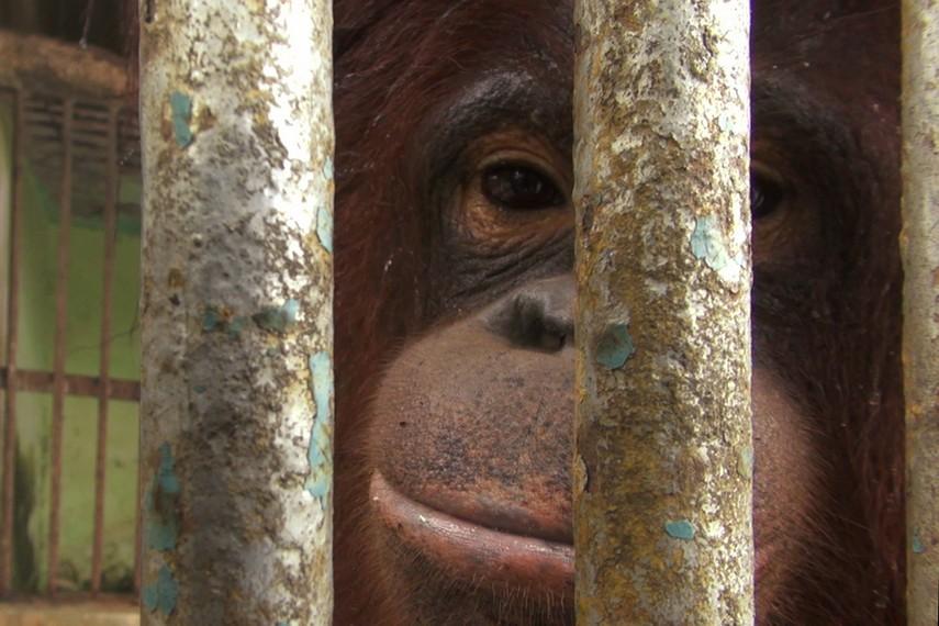 Orang utan yang diberi nama Febi menjadi salah satu daya tarik di Kebun Binatang Mini Tanjung Pandan