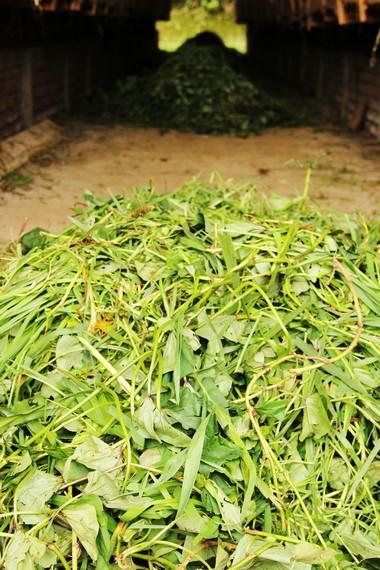 Rumput gajah menjadi panganan yang sering diberikan untuk domba-domba di De Wisdom