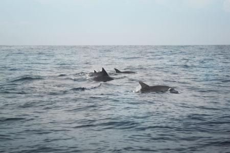Kalau sedang beruntung, kita bisa melihat langsung penampakan lumba-lumba yang berenang di laut Kiluan