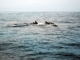 Mengamati Koloni Lumba-Lumba di Laut Lepas Kiluan