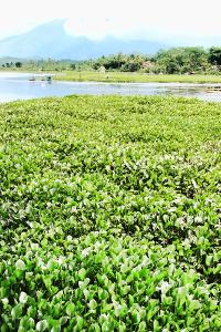 Situ Bagendit banyak ditumbuhi tanaman eceng gondok