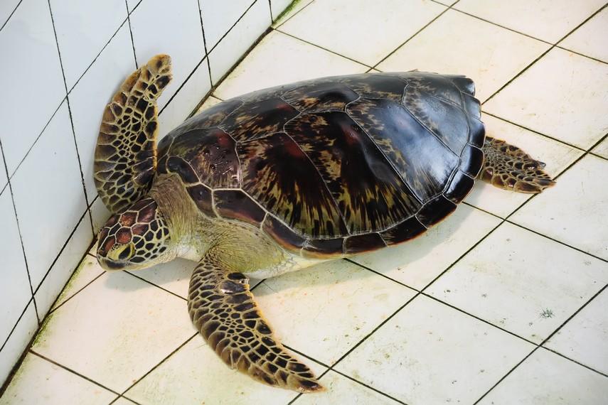 Penyu hijau, salah satu spesies penyu yang paling banyak ditemukan di perairan Indonesia