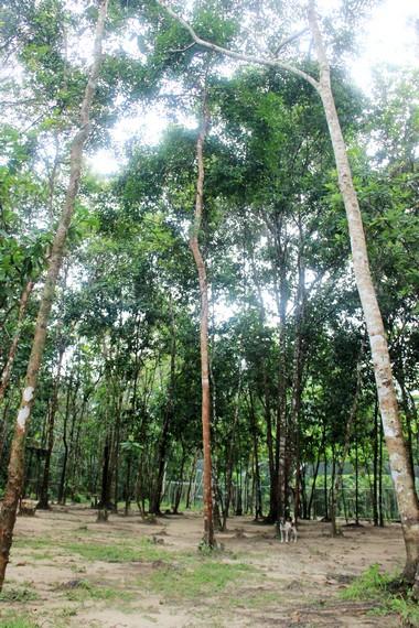 Batu Mentas terletak di tengah-tengah hutan kawasan Kecamatan Badau