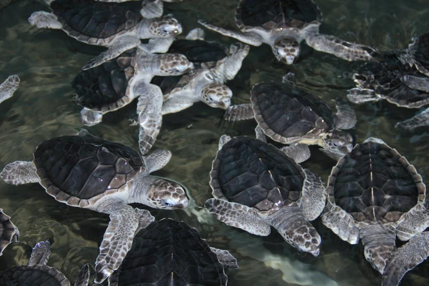 Sumatera Barat memiliki satu destinasi eko-wisata yakni Pusat Konservasi Penyu di Kota Pariaman