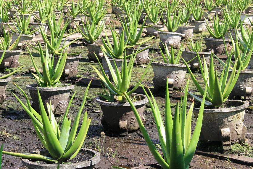 Kota Pontianak selama ini identik dengan tanaman Lidah buaya atau yang memiliki nama latin Aloevera