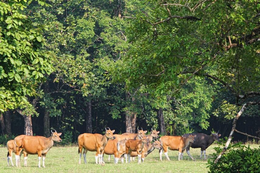 Luas Padang Cidaon mencapai 4 hektar, padang rumput ini menjadi wahana tempat satwa-satwa mencari makan serta berkumpul