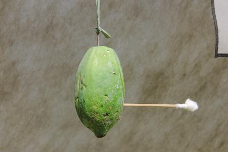 Buah pepaya biasa dijadikan target dalam permainan tradisional Susumpitan yang mengandalkan ketangkasan