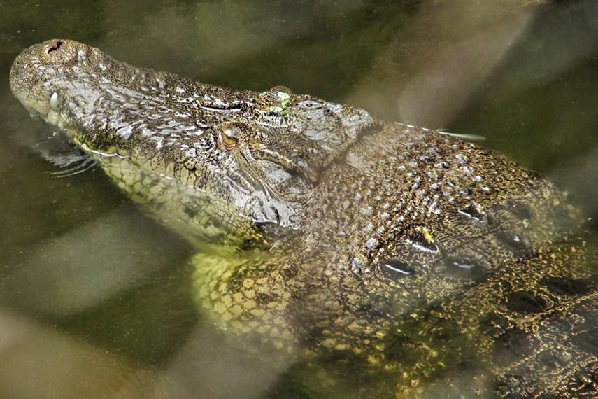 Buaya-buaya berukuran besar banyak ditemui di beberapa sungai yang berada di Belitung