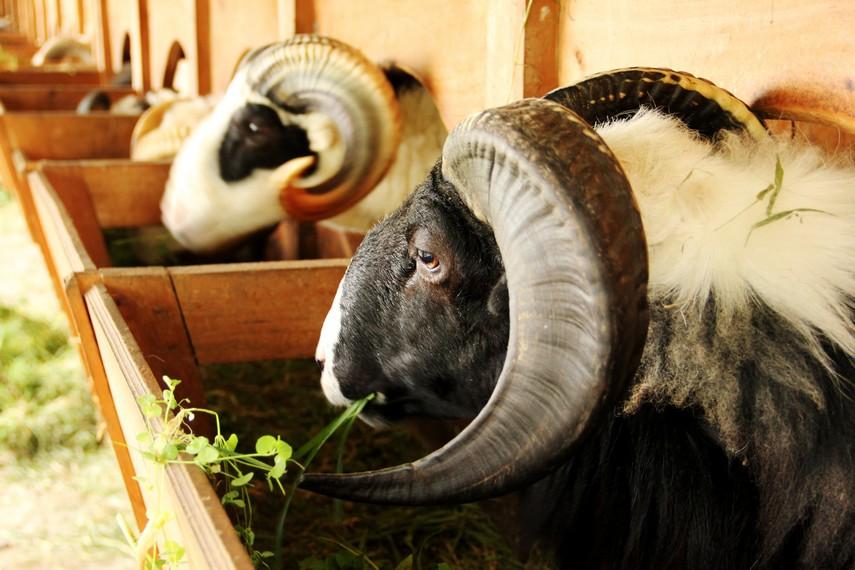 Domba di De Wisdom di ikut sertakan dalam ajang tradisi ketangkasan domba khas Garut