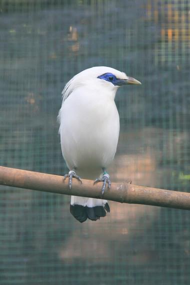 Jalak Bali termasuk burung bernyanyi dengan bulu putih yang indah, dahulu banyak dipelihara sebagai hewan kesayangan