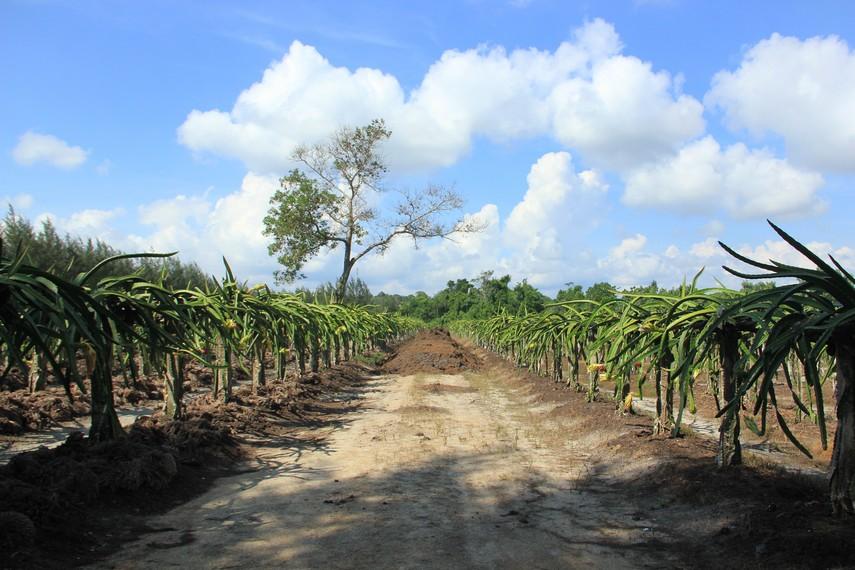Perkebunan pohon buah naga di BBG yang memiliki lahan seluas 2 hektare