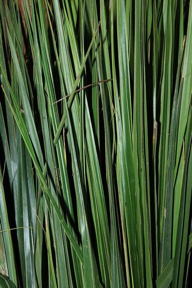 Daun kelapa yang baru dipetik dan dijadikan sebagai pembungkus lepet