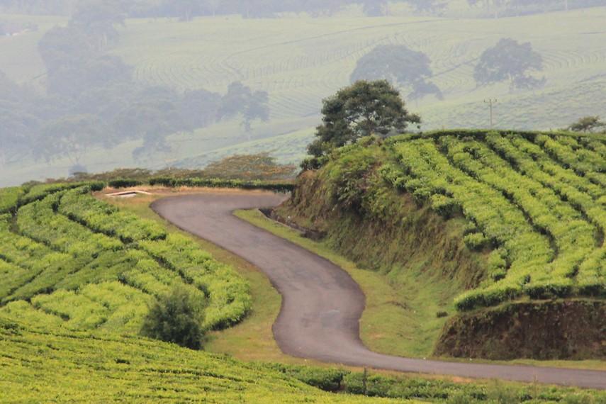 Kebun Teh Pagaralam berada pada ketinggian sekitar 1520 meter di atas permukaan laut