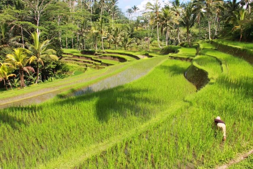Sistem subak tetap lestari dalam budaya pedesaan di Bali selama berabad-abad