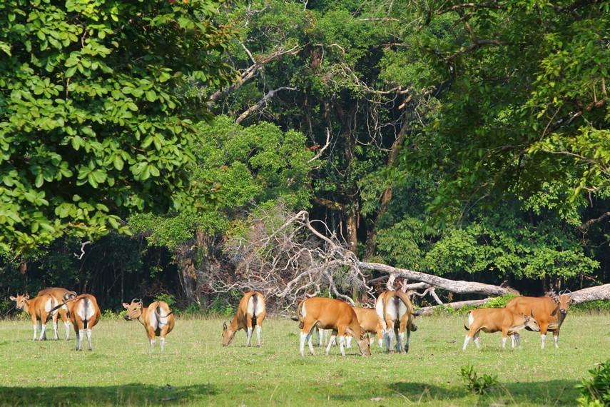 Rusa-rusa yang sedang berkumpul mencari makan menjadi pemandangan menarik di Padang Cidaon