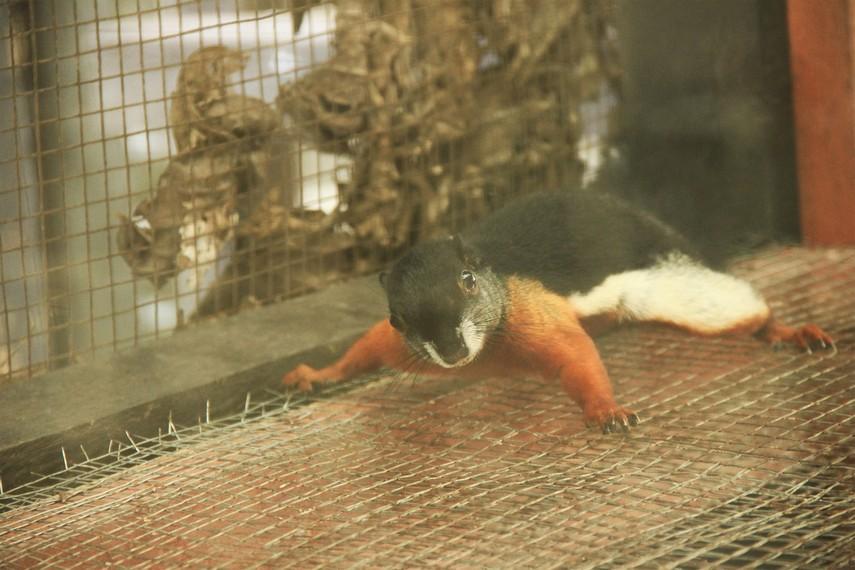 Tupai Selat Nasik yang memiliki warna unik menjadi salah satu daya tarik di Kebun Binatang Mini Tanjung Pandan Belitung