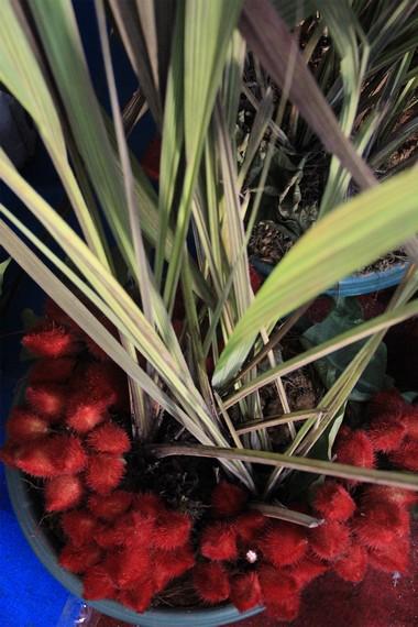 Wujud tumbuhan doyo beserta buahnya yang berwarna kemerahan