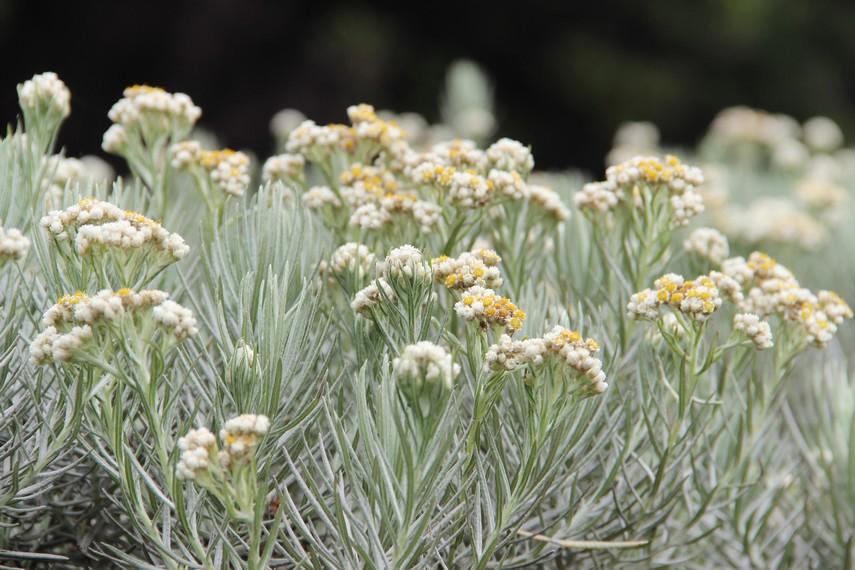 Bunga edelweis yang mendapat julukan bunga keabadian memang menjadi daya tarik tersendiri bagi para pendaki