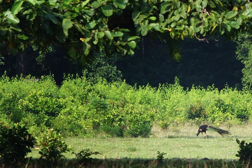 Satwa seperti sapi, banteng, kerbau bahkan burung merak bisa kita lihat di Padang Cidaon