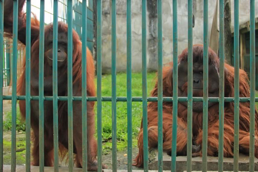 Orang utan menjadi salah satu koleksi yang dimiliki Taman Margasatwa dan Budaya Kinantan Sumatera Barat