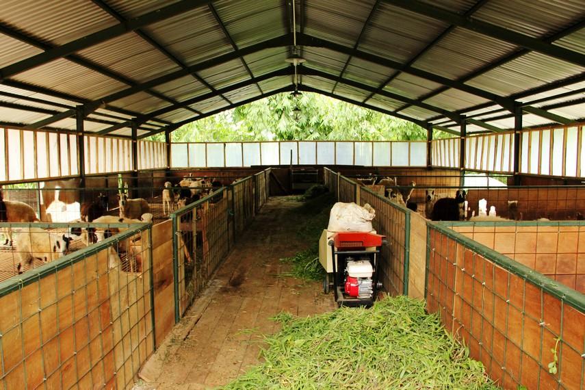 Kandang koloni salah satu kandang di De Wisdom yang berisikan domba-domba berusia remaja