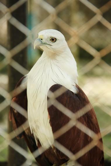 Burung elang yang biasa hinggap di sekitar bukit-bukit di Belitung yang menjadi penghuni Kebun Binatang Mini Belitung