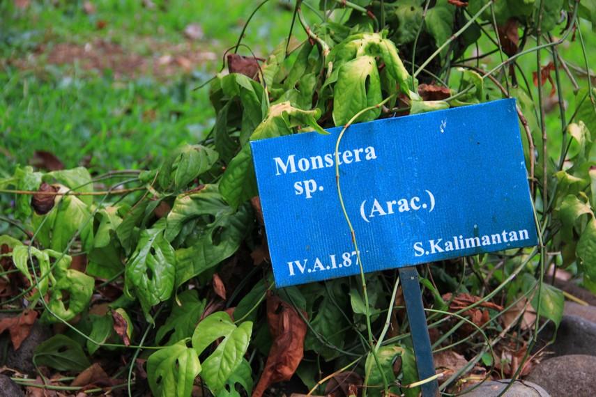 Kebun Raya Purwodadi mempunyai ribuan koleksi tanaman salah satunya adalah Monstera sp ini