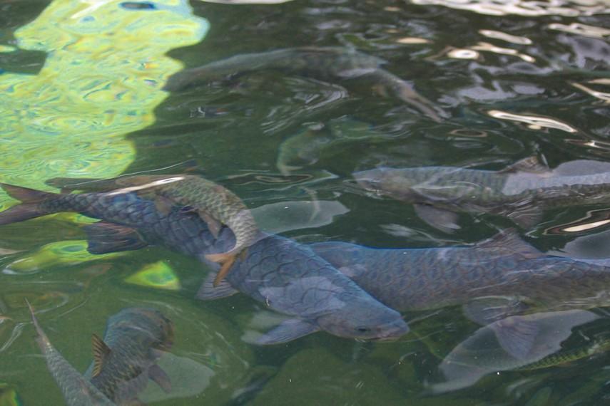 Pemandian Cibulan dihuni oleh ikan Kancra Bodas atau lebih dikenal dengan ikan dewa oleh masyarakat setempat