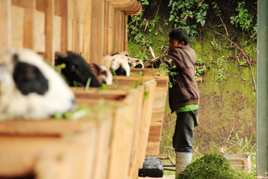Pengunjung bisa melihat langsung proses pemberian makan domba oleh peternak