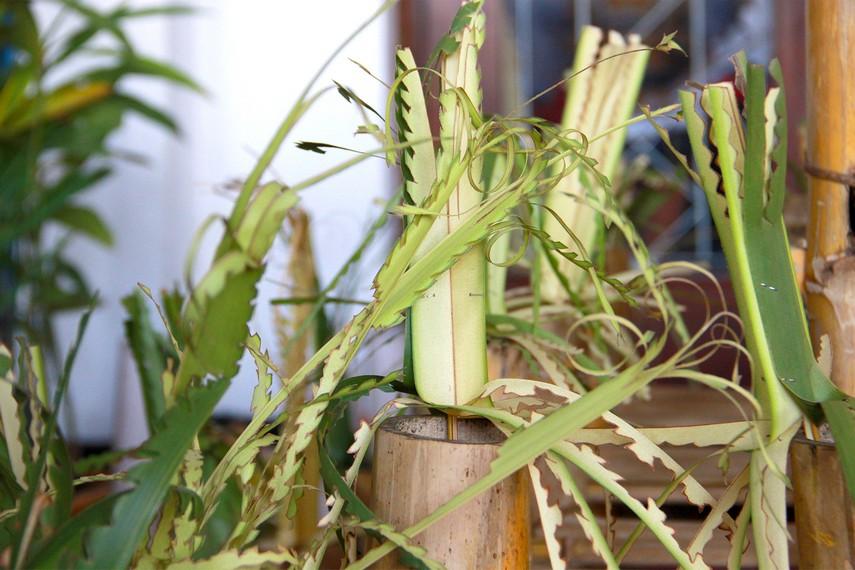 Kaki-kaki dari balai bambu yang digunakan dalam beluluh diberi hiasan dari daun kelapa